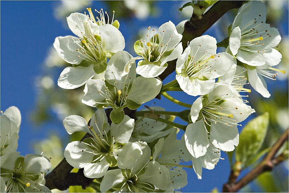 Blüten des Zwetschgenbaumes II