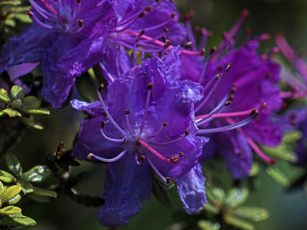Blüten einer blauen Azalee