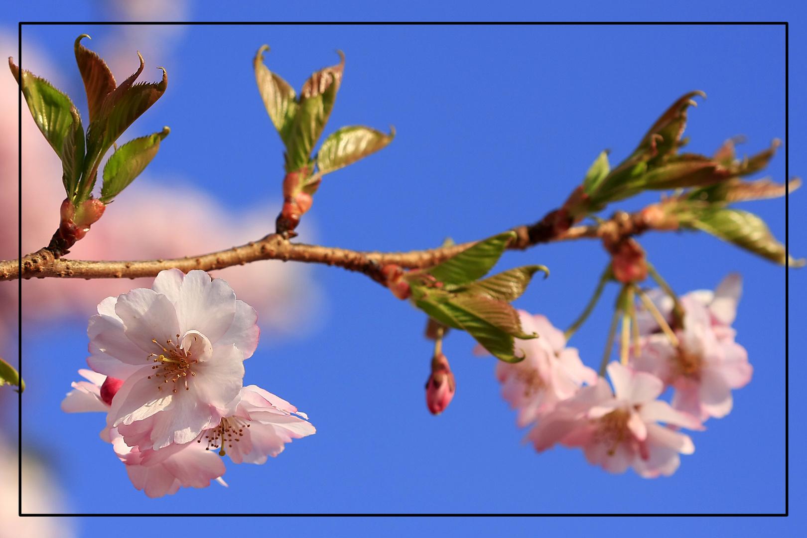 Blüten einer Zierkirsche