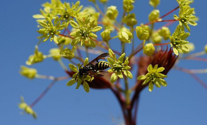 Blüten eines Ahornbaums