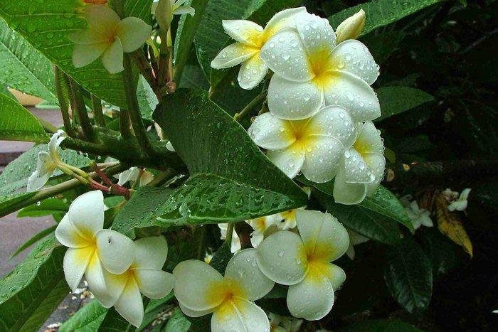 Blüten eines Gummibaums auf La Palma
