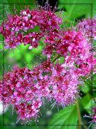Blüten eines Spierstrauches.