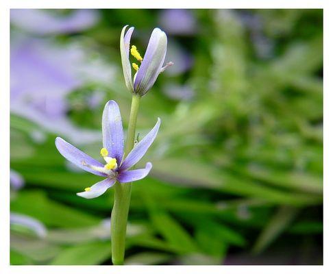 Blüten eines Trugkölbchens