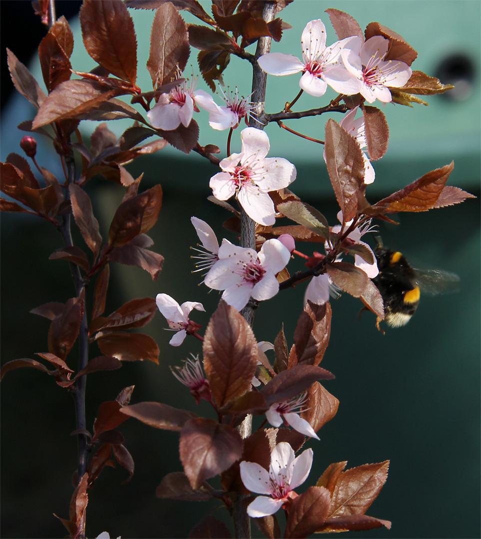 Blüten fotografiert ....Hummel schleicht sich ins Bild