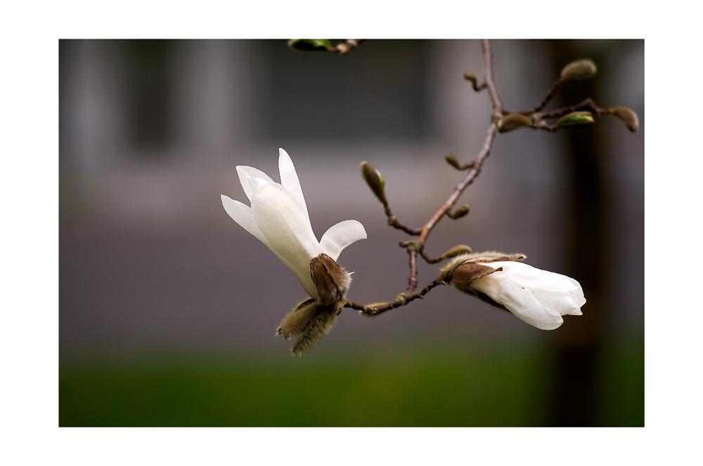 Blüten-Haiku