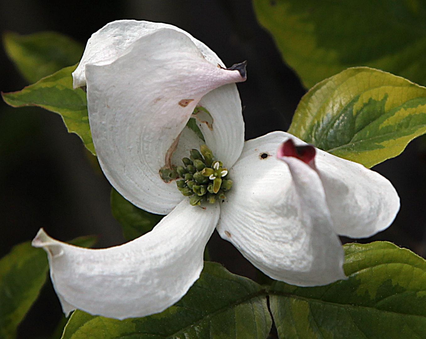 Blüten-Hartriegel
