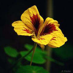 Blüten im Dezember - Kapuzinerkresse