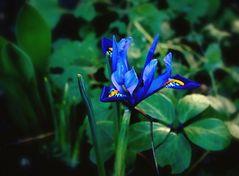 Blüten im Februar - Holländische Iris in ihrem herrlichen Königsblau