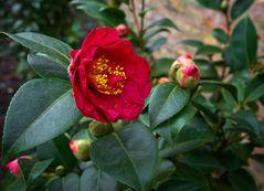 Blüten im Februar - Kamelie im Rosengarten Eltville