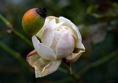 Blüten im Februar - Rose
