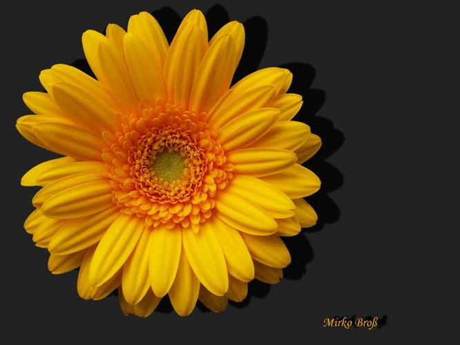 Blüten im Garten - Gerbera