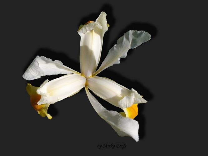 Blüten im Garten - Lilie