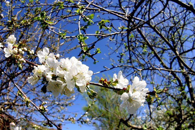 Blüten IM Kirschbaum