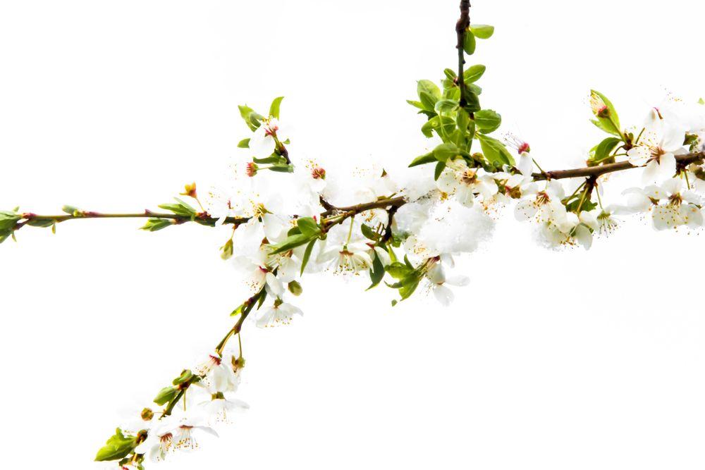 Blüten im Schnee von netpixel