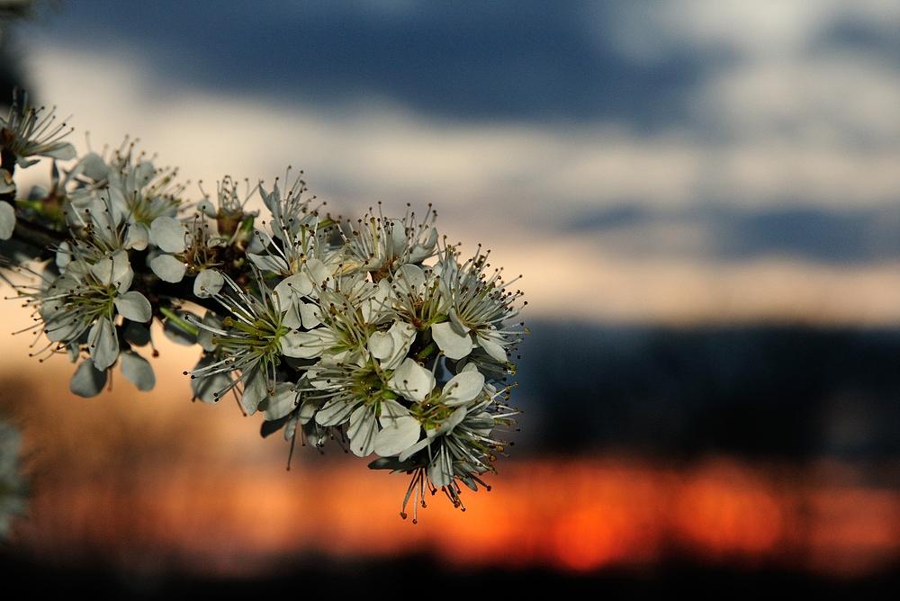 Blüten im Sonnenuntergang.