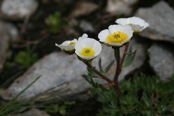 Blüten in einem Geröllfeld in den Alpen