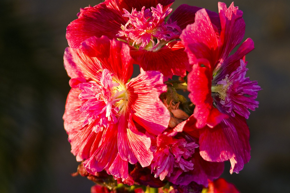 Blüten in Namibia - Malvenblüte im Morgenlicht