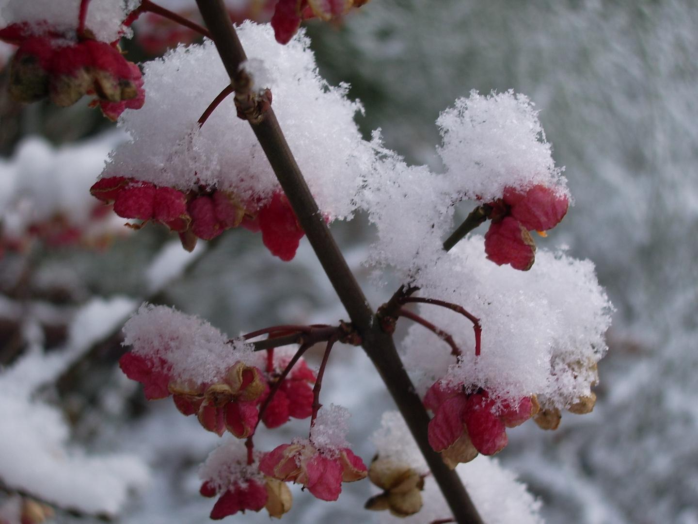 Blüten mit Schneehaube