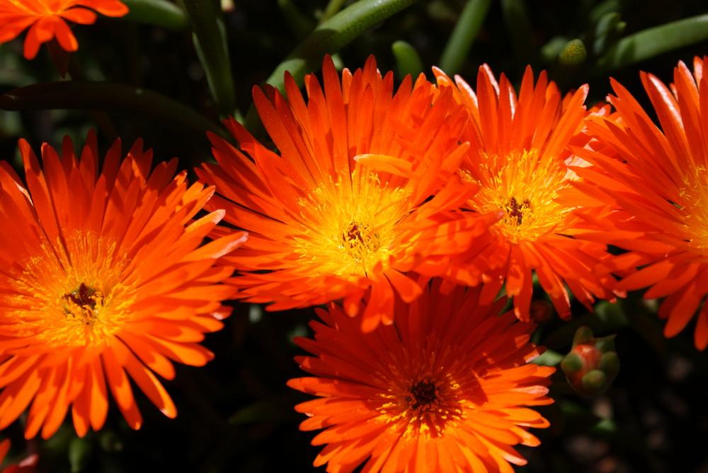 Blüten, orange