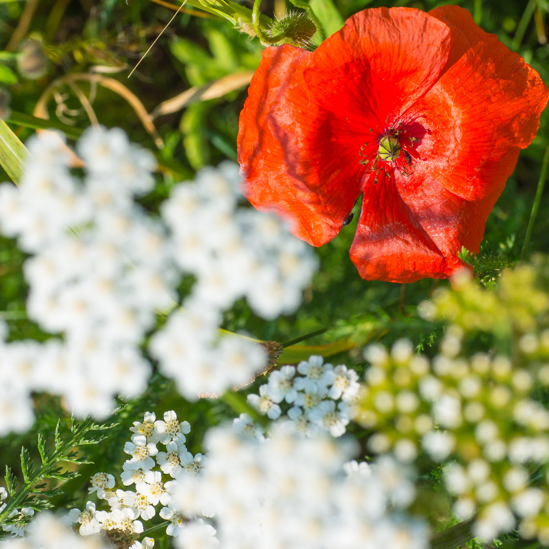 Blüten rot/weiß