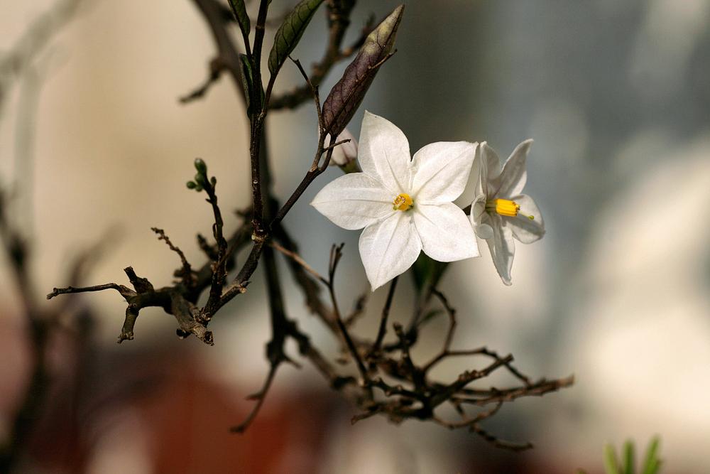 Blüten-Stolz