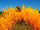 Blüten und Bienen 006