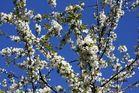 Blüten und blauer Himmel :)
