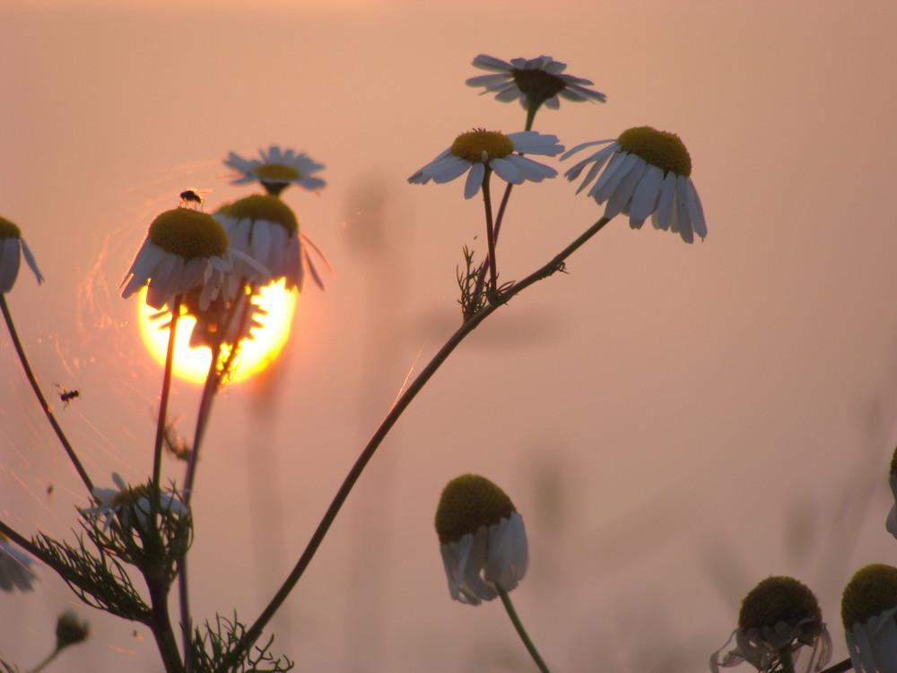 Blüten und ihre Gäste kurz vor Sonnenuntergang