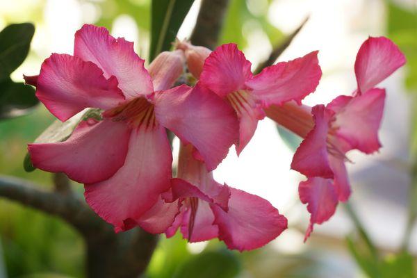Blüten vom Baobab.