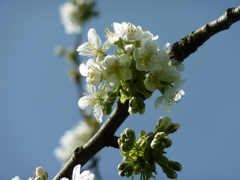 Blüten vom Birnenbaum