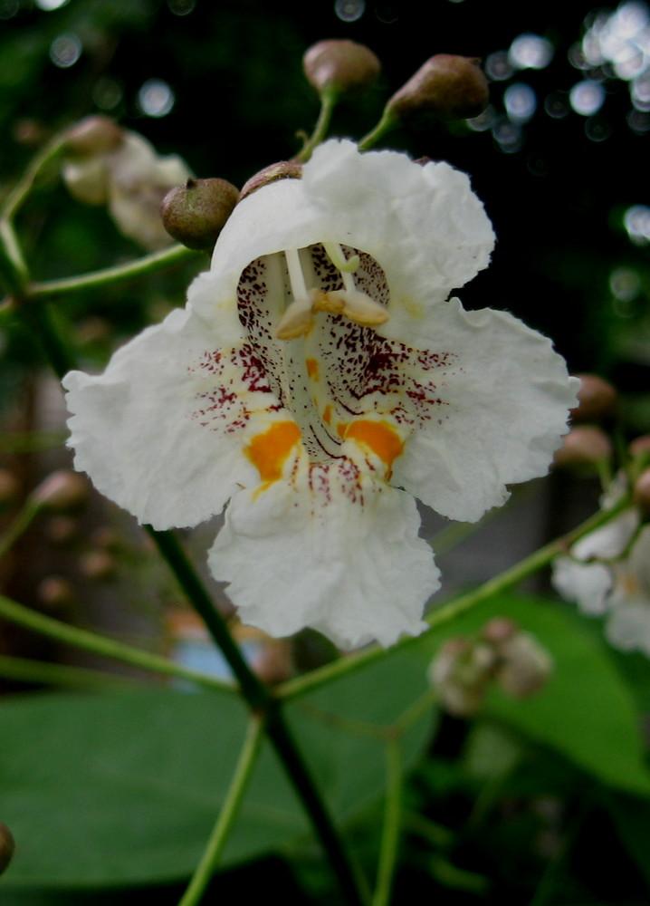 Blüten vomBäumchen....