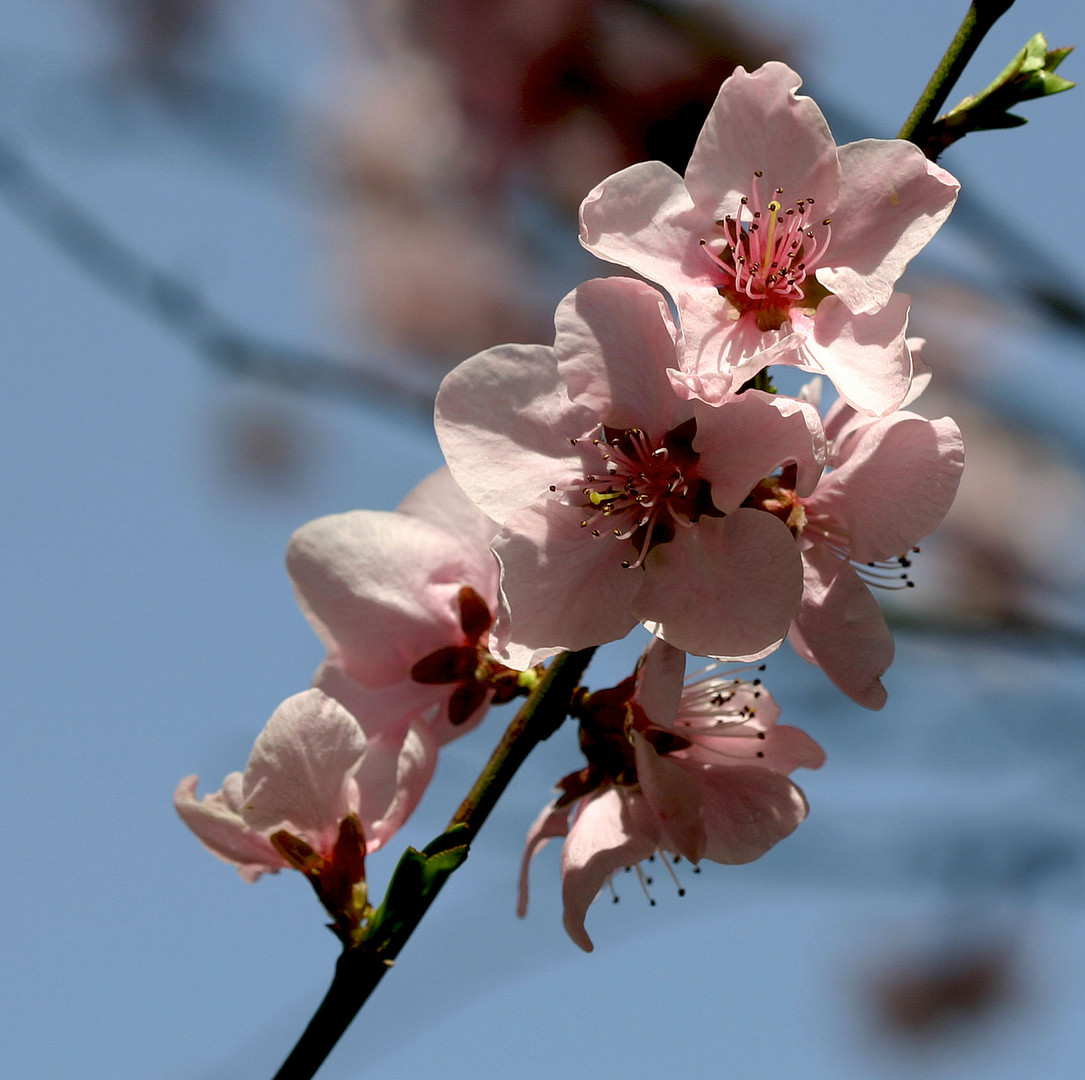 Blüten von meinem Pfirsichbaum