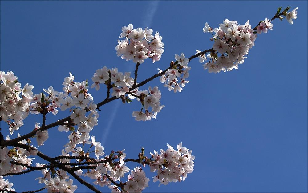 Blüten vor Kondensstreifen ;-)