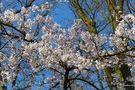Blütenbäume im Keukenhof von Ingeborg K