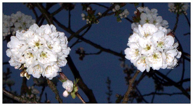 Blütenballen...