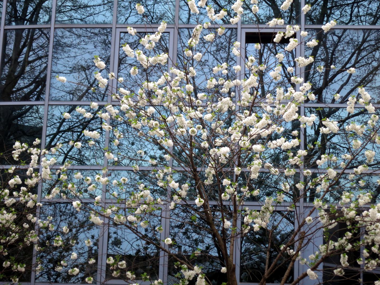 Blütenbaum vor Spiegelfassade
