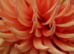 Blütenblätter einer Dahlie