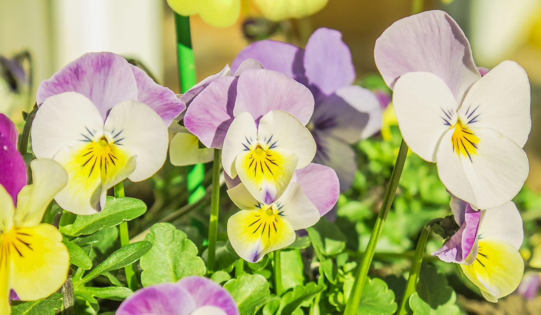 Blütenblau