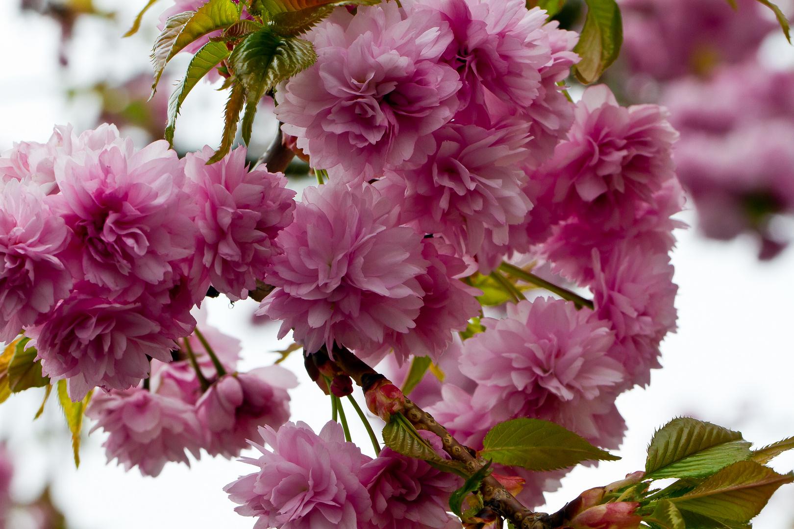 Blütendach