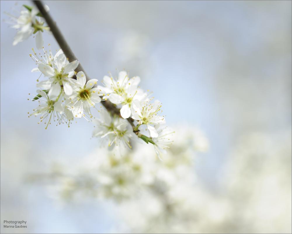 Blütenhauch (2)