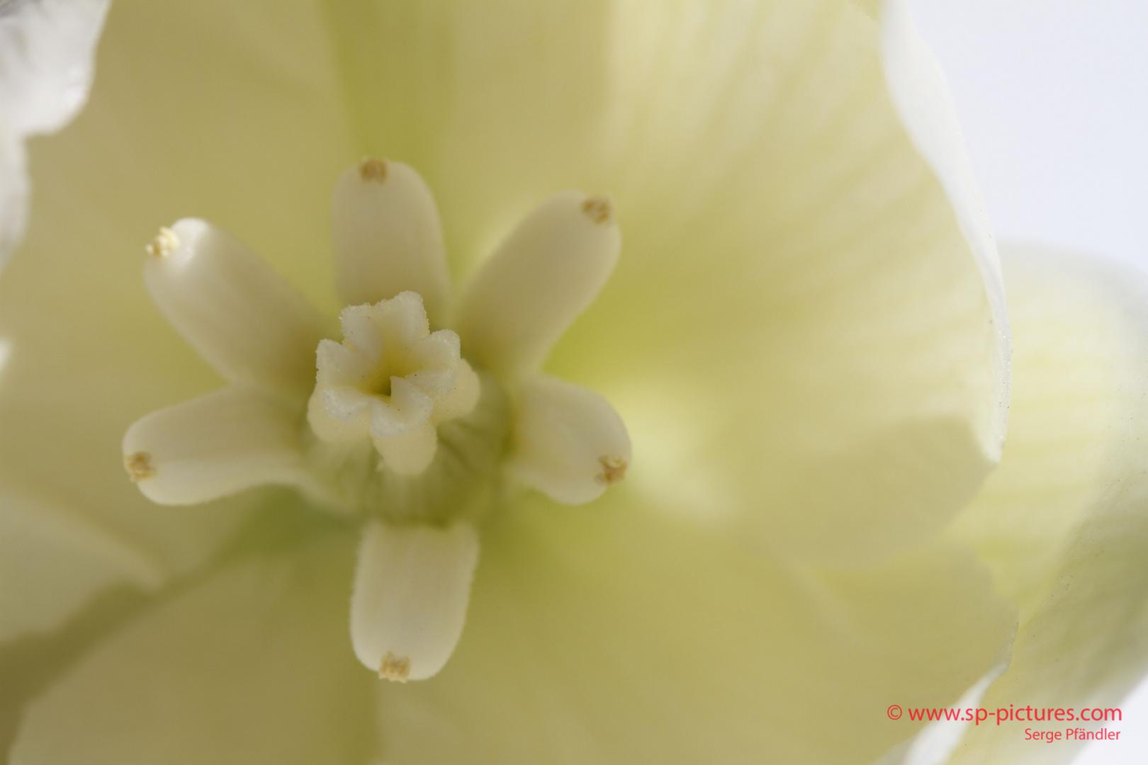Blüteninneres der Blüte einer Yucca-Palme