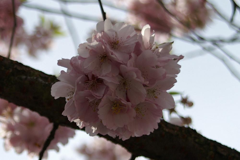 Blütenknäul