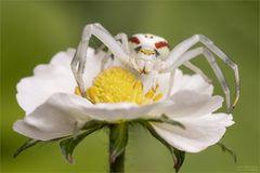 Blütenlauer