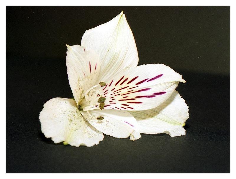 Blütenmakro _ 1