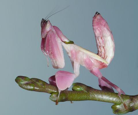 * Blütenmantis *