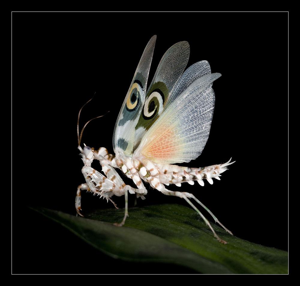 Blütenmantis (Gottesanbeterin) Pseudocreobotra wahlbergii