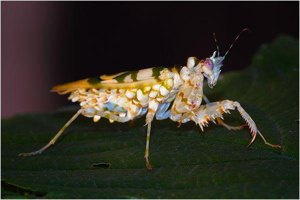 Blütenmantis (Pseudocreobotra wahlbergii)