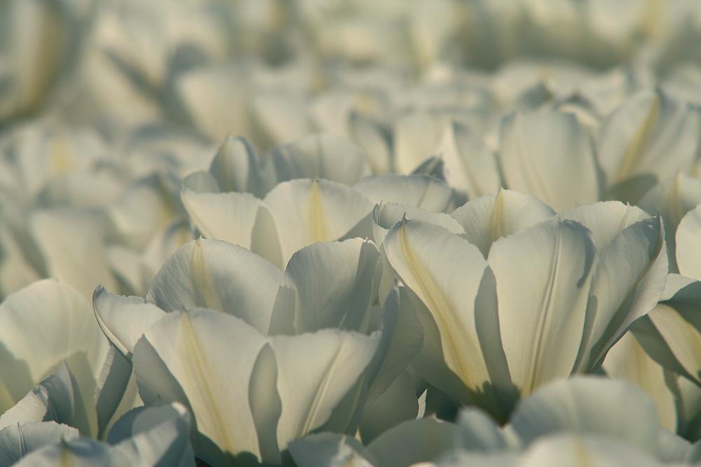 Blütenmeer ..