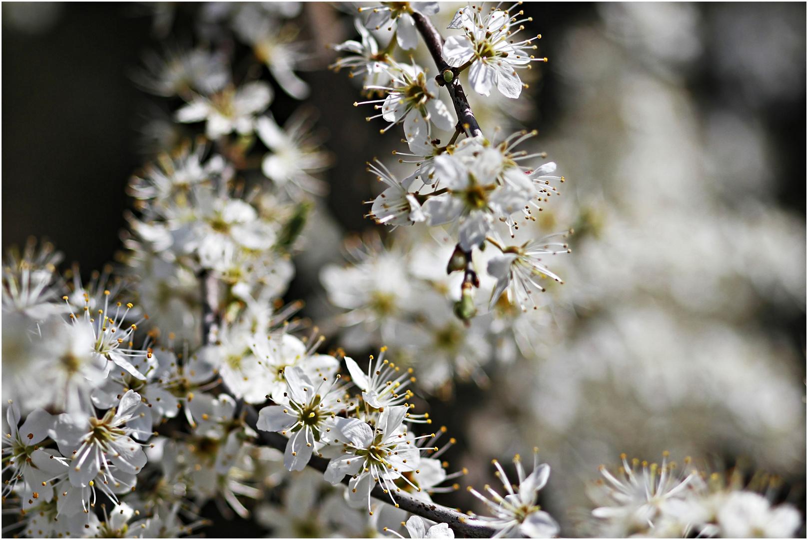 Blütenmeer am Schlehenstrauch