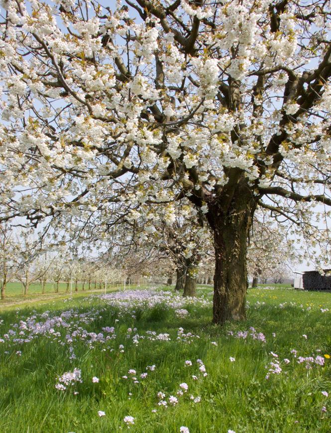 Blütenmeer im April